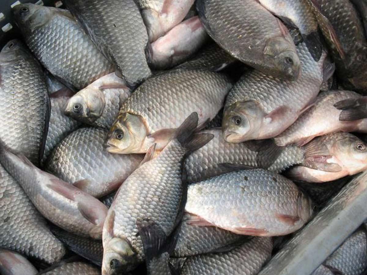 karas - Рыба есть, бизнес тоже: в Тюмени появится свой рыбный бренд